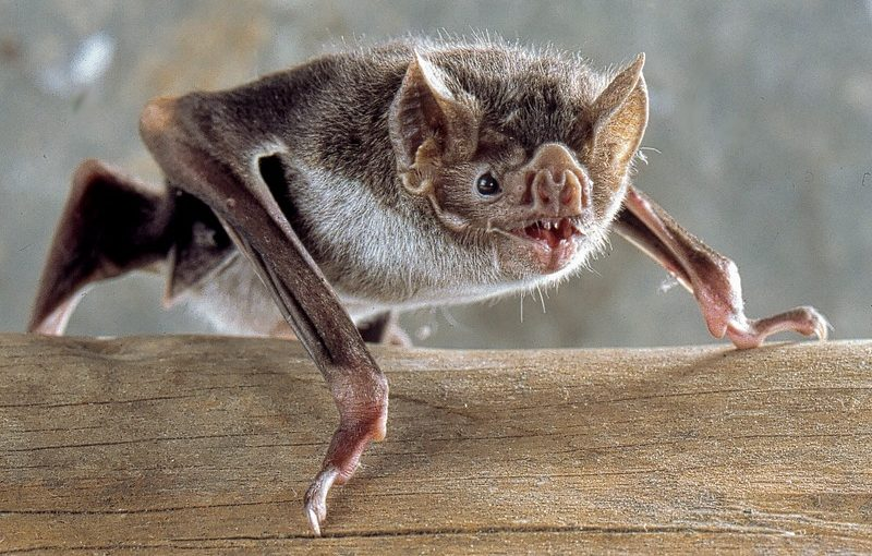 Predictors and immunological correlates of sublethal mercury exposure in vampire bats