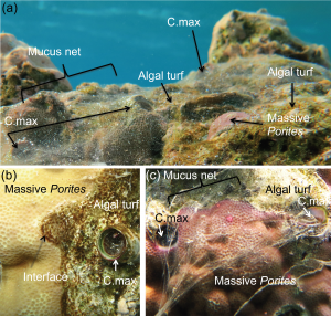 Mucus-net producing snails modify water flow and molecular transport potential over corals and coral-algal interactions