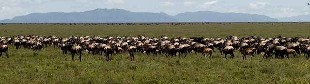 Migratory behaviour predicts greater parasite diversity in ungulates