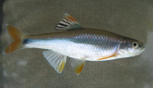 Patterns and drivers of fish extirpations in rivers of the American Southwest and Southeast